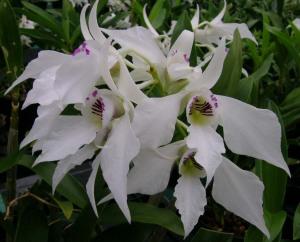 New Guinea Dendrobium