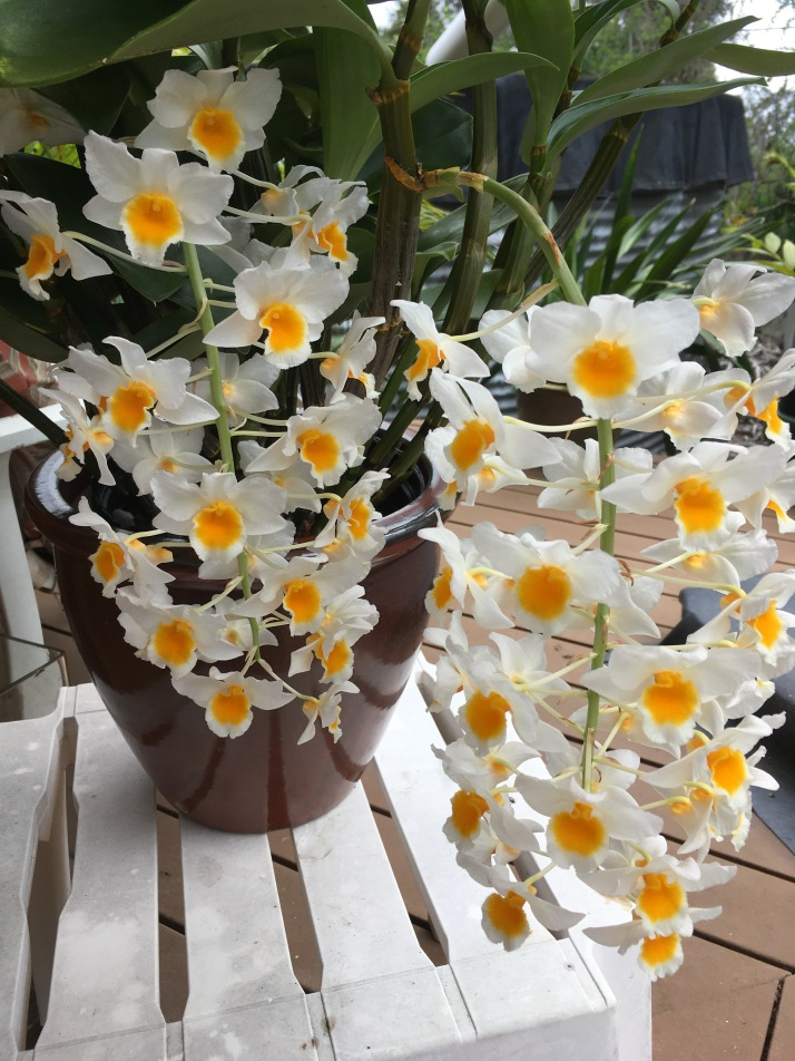 These pendent type Dendrobiums would be happy up in tree but alas, it will have to suffer in the pot for now.