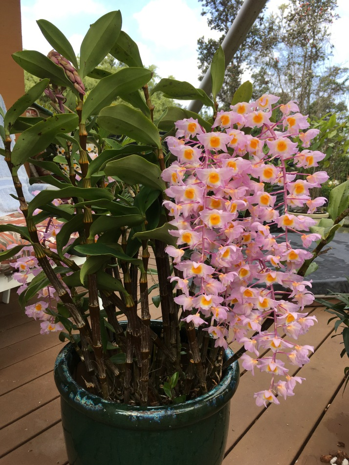 A curtain of orchids graces our deck.  This species is one of the parents of Dendrobium Mousmee, a favorite on the farm.  This plant has been known as  Dendrobium bronckartii De Wild.
