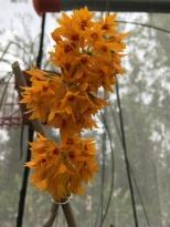 Dendrobium tiongii